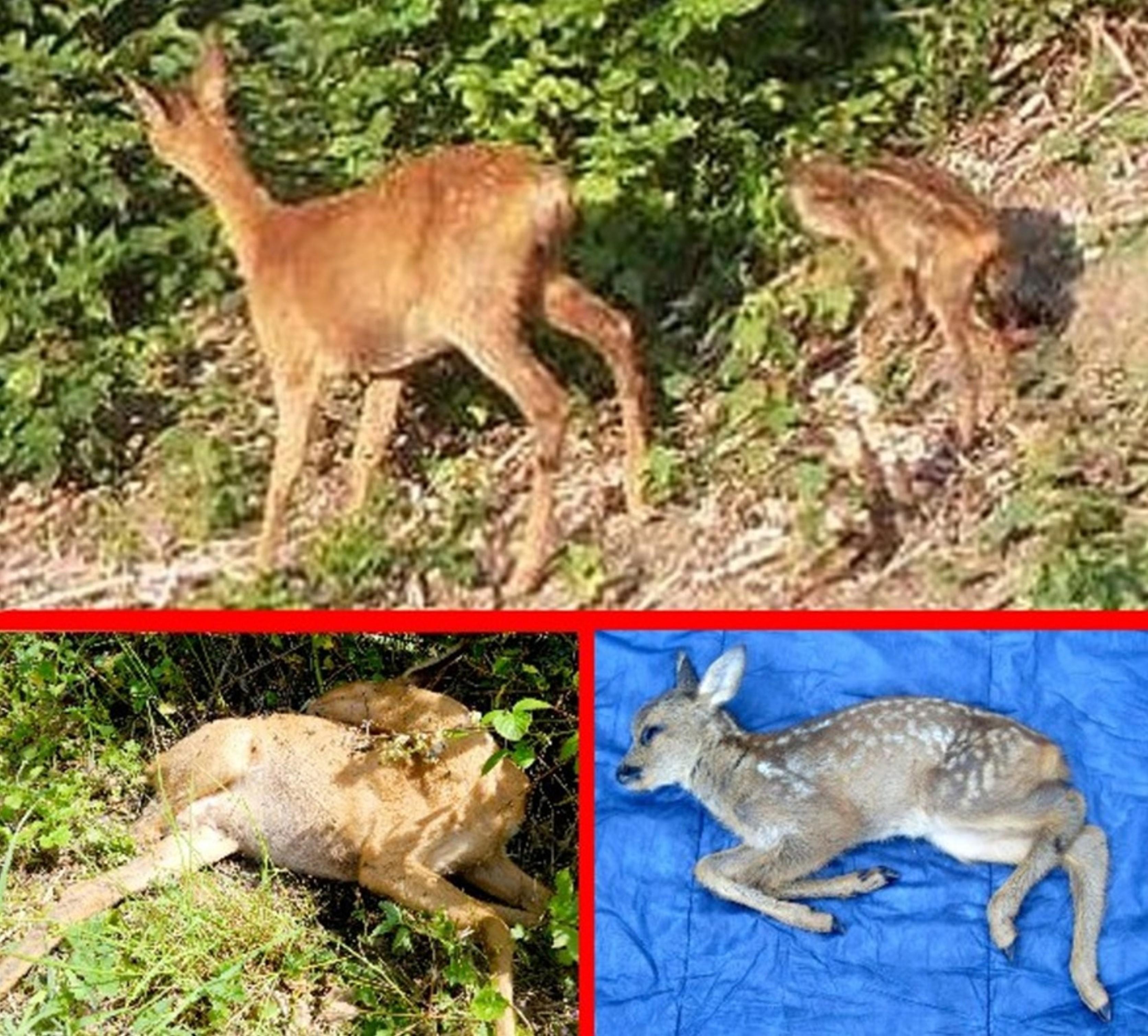 AST_Hund riss Reh-Mutter - Kitz auch tot